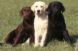 Chien de chasse : le Labrador