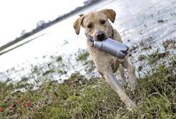 Chien de chasse : le Labrador 2
