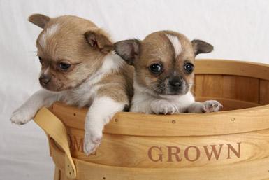 Chihuahua Le Plus Petit Chien
