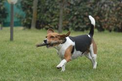 Chien de chasse : le beagle 2