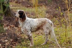 Chien de chasse : le setter anglais 3