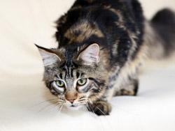 Chat à poils longs : le chat maine coon 2