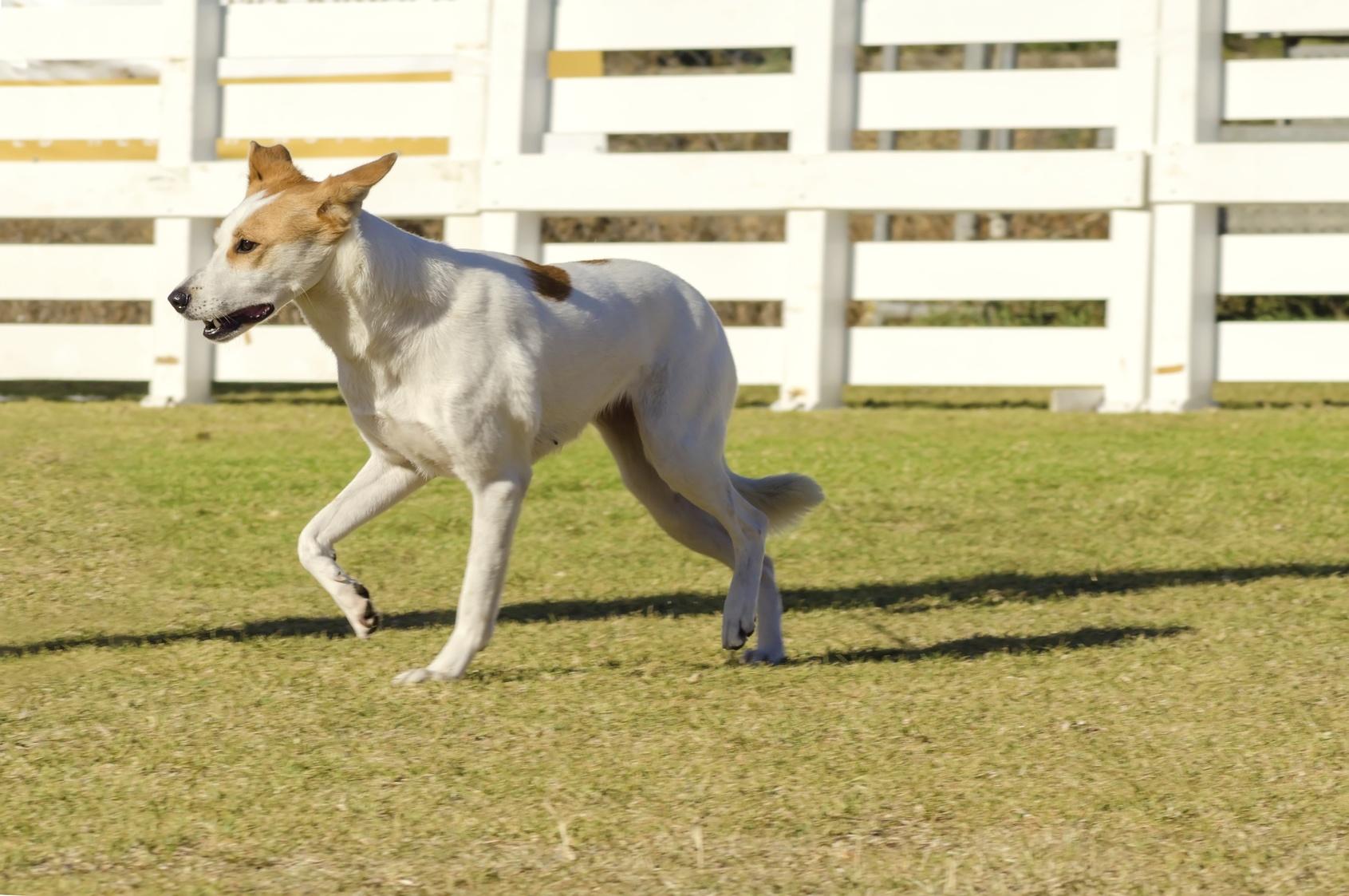 chien de canaan