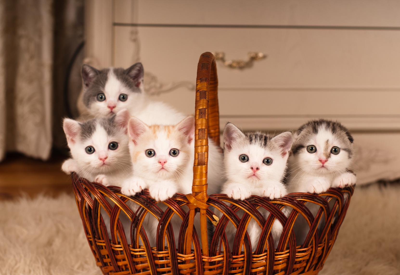 élevage petits chatons