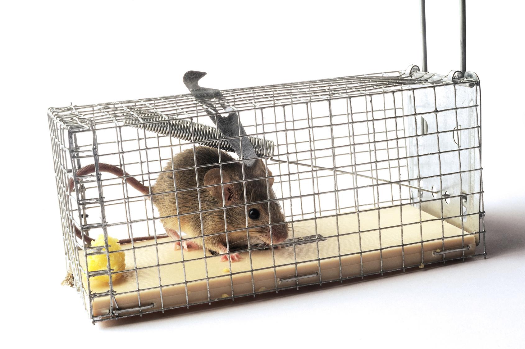 Se Débarrasser D Une Souris comment se débarrasser des souris ?