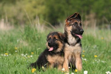 Berger allemand le chien de garde par excellence - Berger allemand gratuit ...