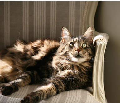 Chat à poils longs : le chat maine coon