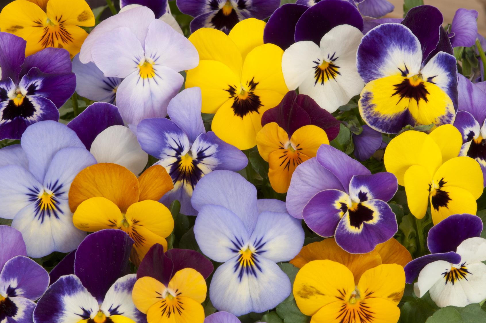 Quelles fleurs r sistent l 39 hiver - Pensee fleur vivace ou annuelle ...