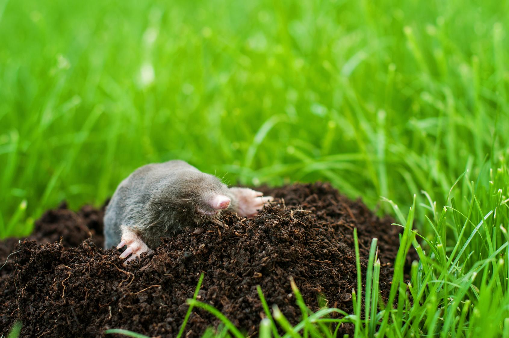 Comment viter les taupes dans son jardin - A poil dans son jardin ...