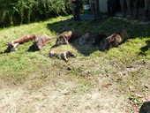 Action de chasse petits et gros gibiers 650 Ruffec (36)