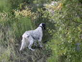 Action de chasse 0 Saint-Sulpice-de-Faleyrens (33)