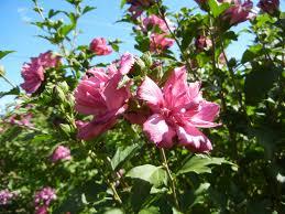 ALTHEA OU HIBISCUS BLANC 4 Saint-Orens-de-Gameville (31)