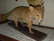 animaux empaillés Roujan (34)