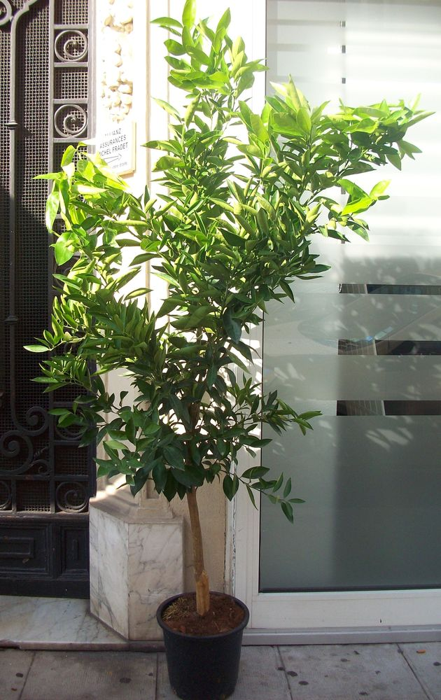 arbres de olivier mandarinnier citronniers et orangers 35 Marseille 1 (13)