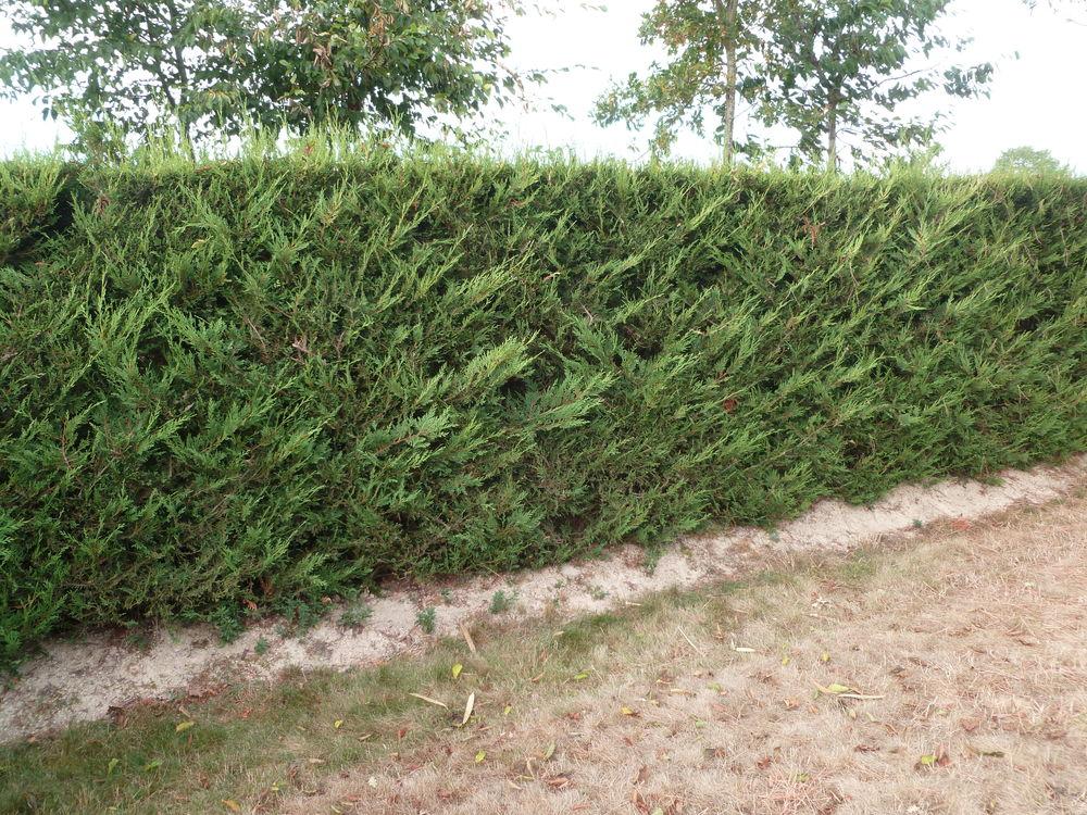 arbustes cyprès 10 Treize-Septiers (85)