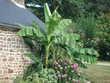 Bananiers Jardin