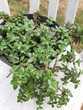 BEGONIA plante grasse -PORCELAINE succulente- SEDUM Palmeri