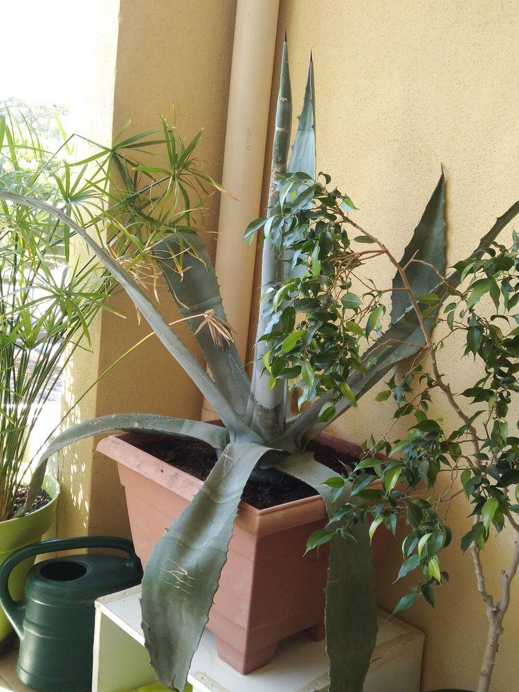 Belle agave de 1 m 30 environ avec pot 40 St Aygulf (83)