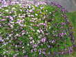 boutures de dimorphotécas ou ostéospermums mauves rampants