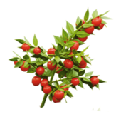 buisson compacte vert brillant à fruits rouge sang 15 Maurepas (78)