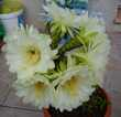 Cactus à fleurs géantes et plantes grasses Mèze (34)