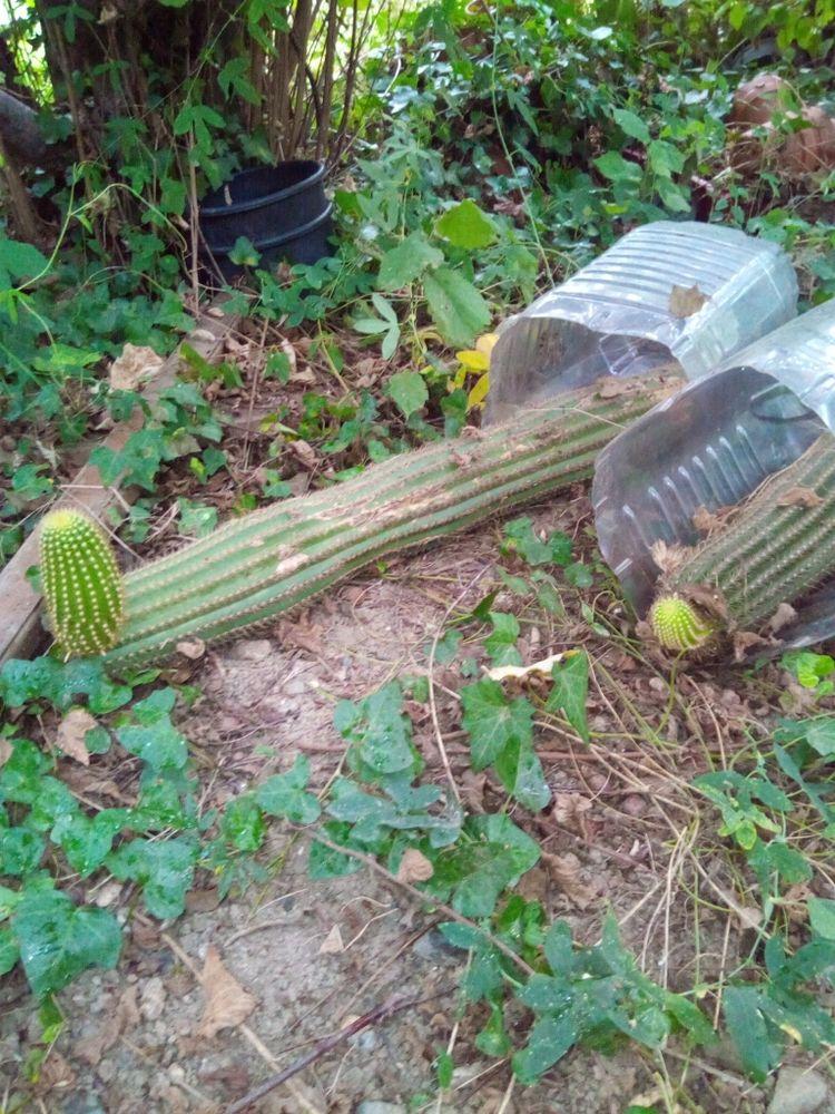 cactus 15 Ille-sur-Têt (66)