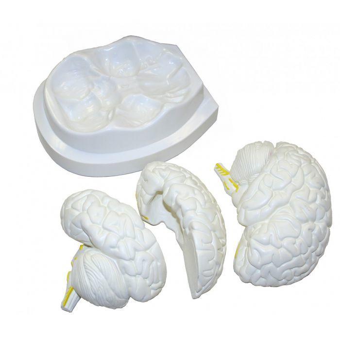 Cerveau modèle - modèle anatomique en 3 parties ST-ATM 56 35 Montmartin-sur-Mer (50)