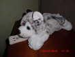 chien des neiges cmp Oignies (62)