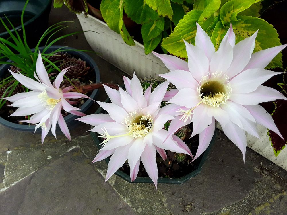 Echinopsis multiplex   3 Mortain (50)