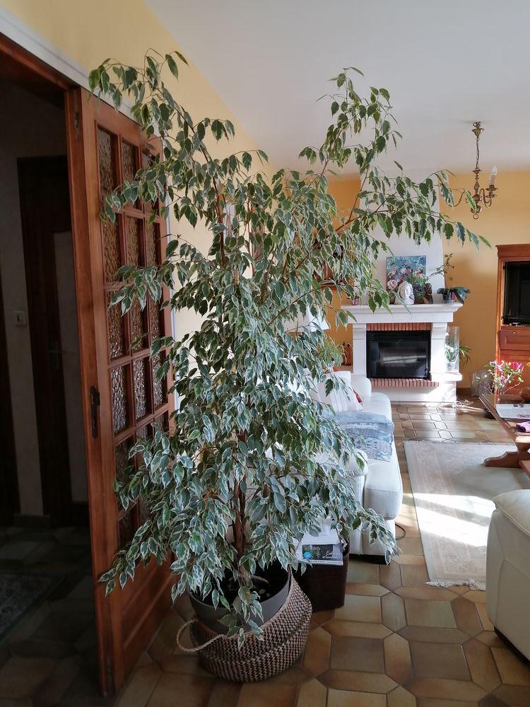 Ficus en pot (plante véritable) 1m90 environ À emporter Occasion Décoration