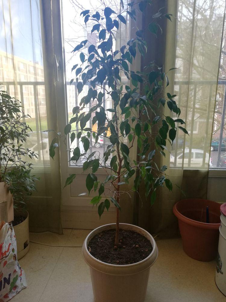 Ficus de 1,50m 4 Rouen (76)