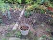Fleurs : 1 arbuste / calycanthus blanc + le pot à 25 € Jardin