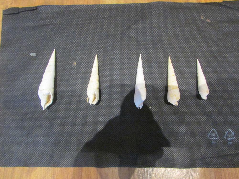 fossile bordeaux 25 Saint-Jean-d'Illac (33)