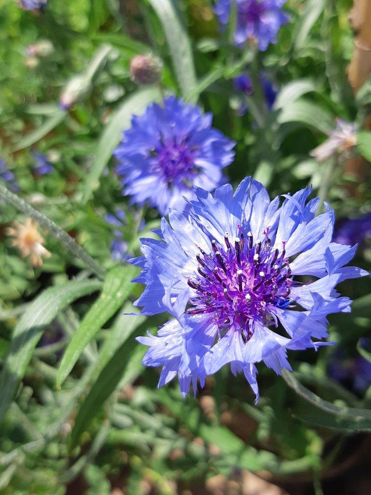 graines de bleuet de mon jardin sans traitement 1 La Seyne-sur-Mer (83)