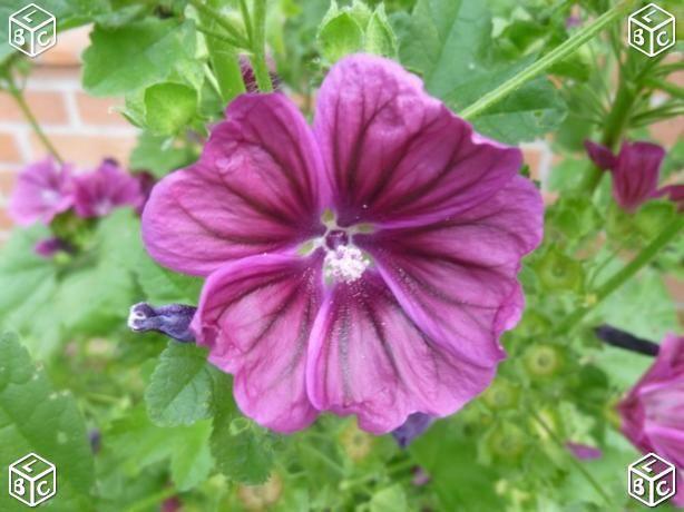 Graines de fleur de mauve  1 Laventie (62)