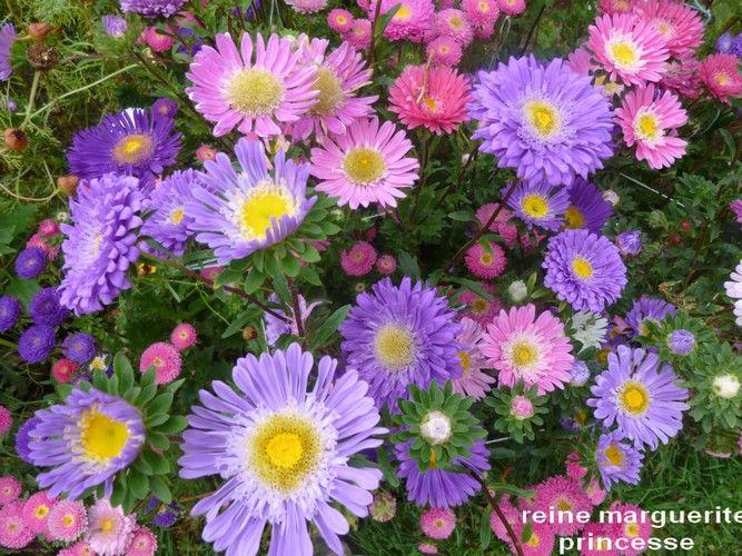 Graines de fleur de reine marguerite 1 Laventie (62)