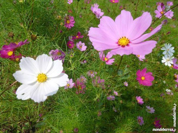 Graines de fleurs de cosmos  + 400 graines 1 Laventie (62)