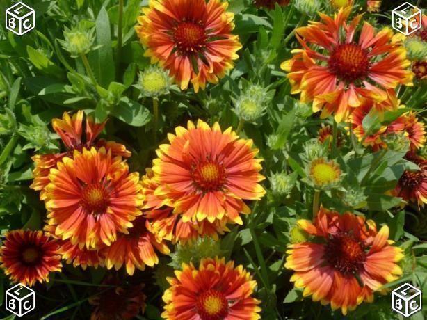 Graines de fleurs de gaillarde 1 Laventie (62)