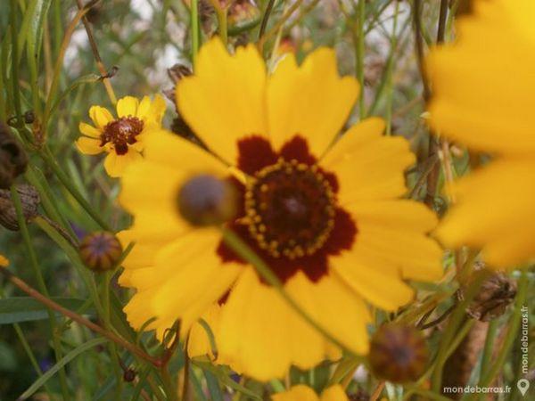 Graines de fleurs de grandiflora plus 1000 grs 1 Laventie (62)
