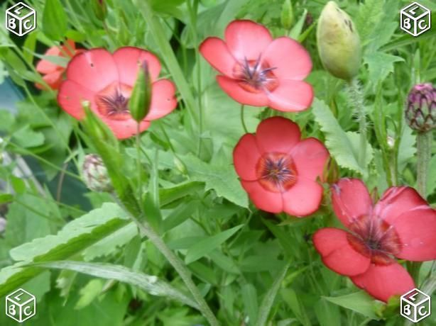Graines de fleurs Linum grandiflorum 1 Laventie (62)