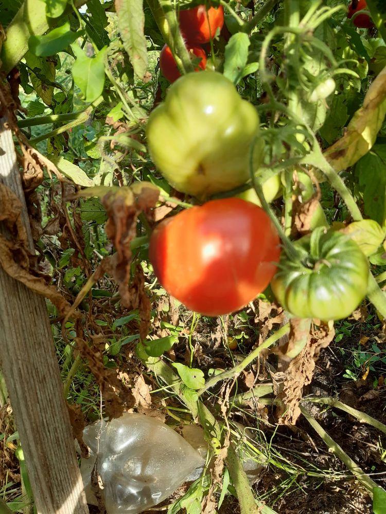 Graines de Tomate C?ur de B?uf 1 Marboz (01)