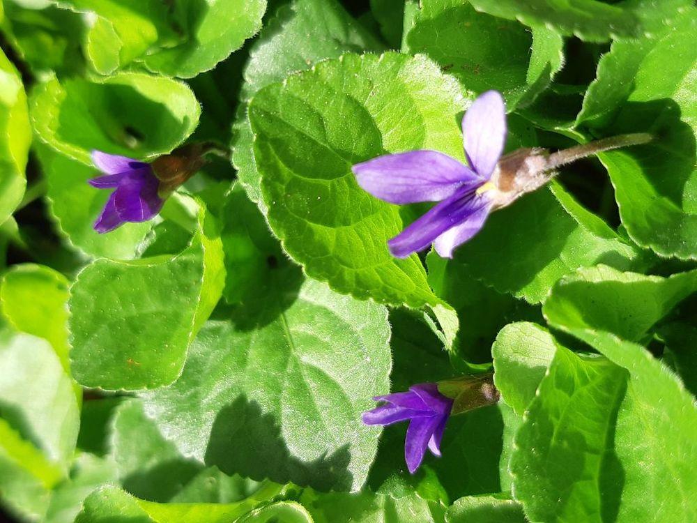 graines de Violette de mon jardin sans traitement 1 La Seyne-sur-Mer (83)