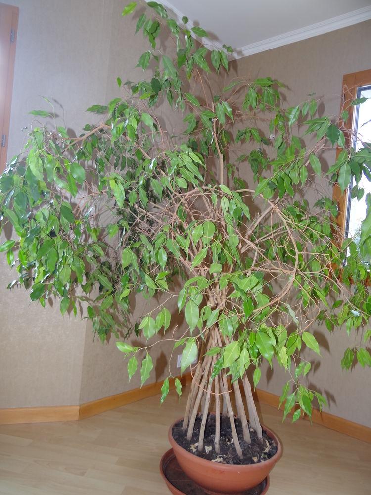 Grand Ficus original d'1m70 0 Quimper (29)
