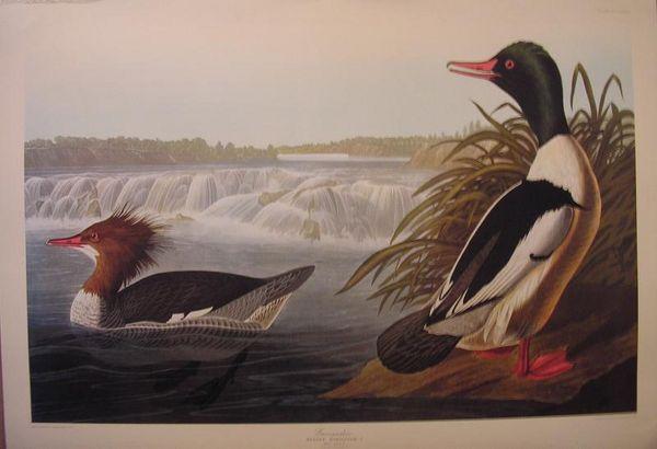 le Grand Harle d'Audubon 49 Saint-Avé (56)