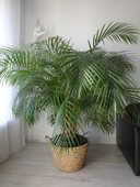 Grand palmier aréquier en pot. 100 Lyon 3 (69)