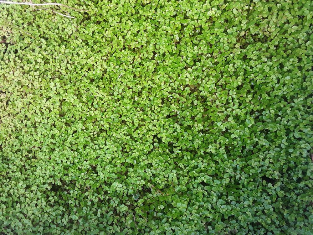 Helxine  soleirolii larme d ange  photo du  22 août  2021 1 Mortain (50)