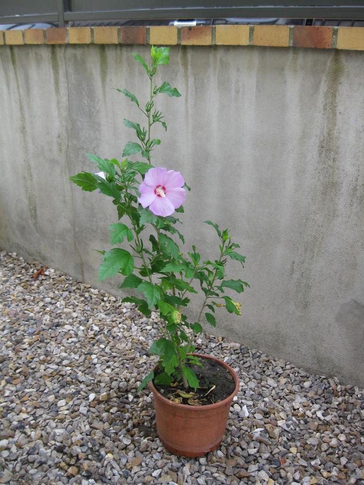 Hibiscus en pot 20cm hauteur 70cm 5 Sartrouville (78)
