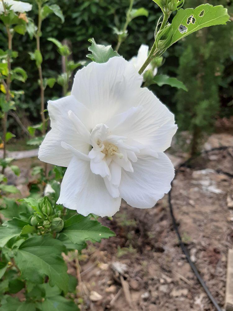 HIBISCUS Fleurs blanches double 6 Mont-de-Marsan (40)