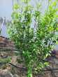 HIBISCUS Fleurs blanches double Jardin