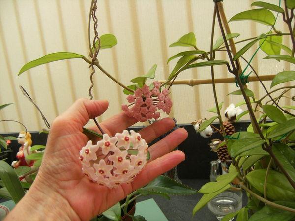 Hoya enracinés en pots ( fleurs de porcelaine) 18 Châteauroux (36)